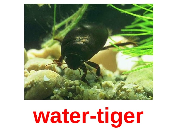 water-tiger