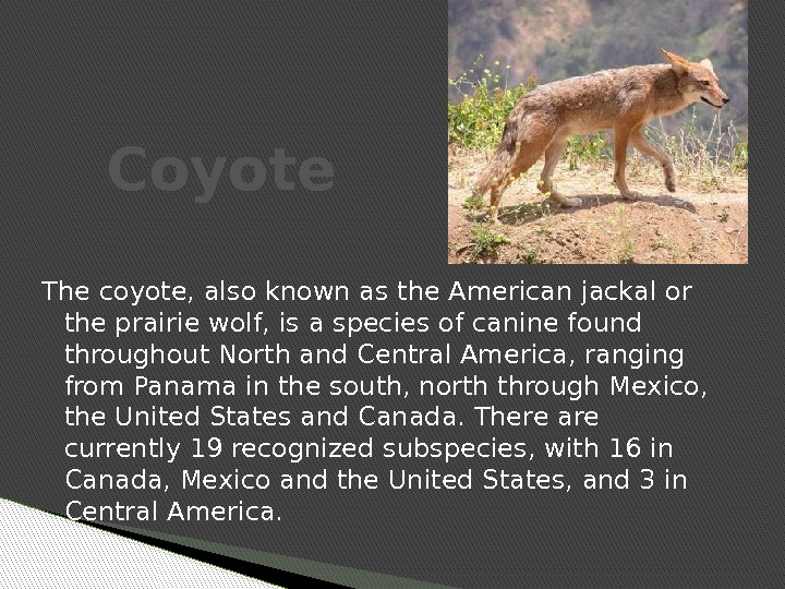 The coyote, also known as the American jackal or the prairie wolf, is a species of