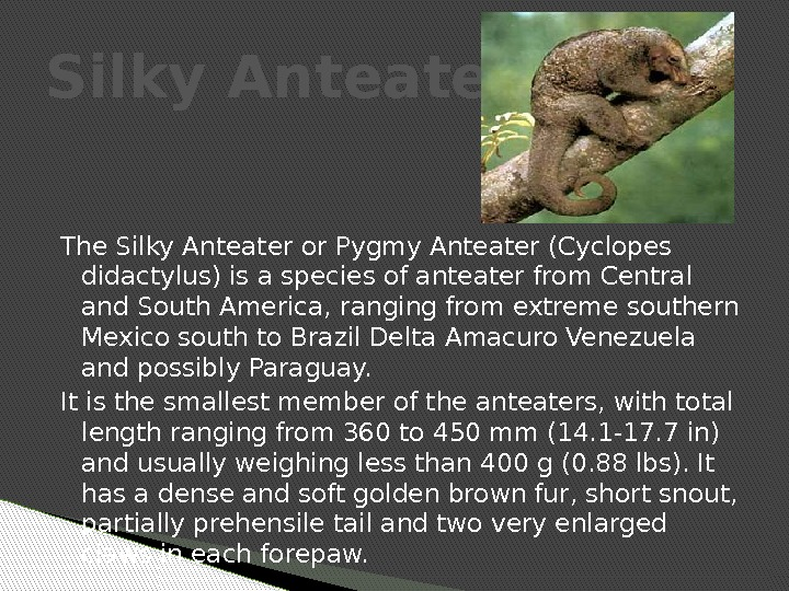 The Silky Anteater or Pygmy Anteater (Cyclopes didactylus) is a species of anteater from Central and