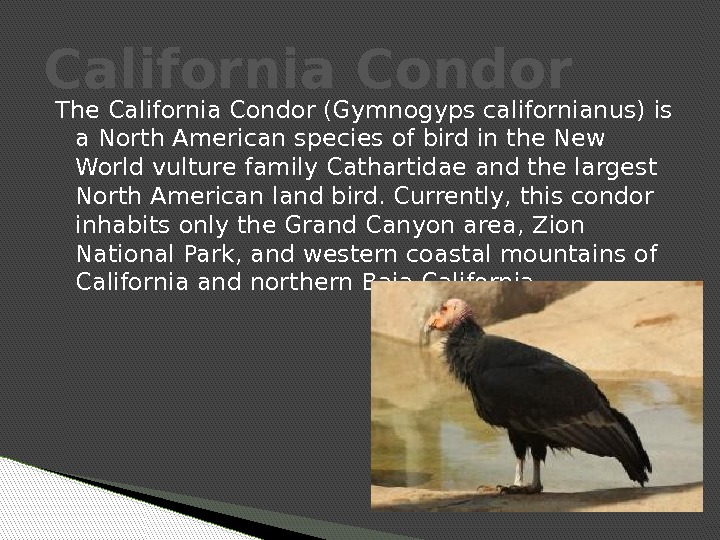 The California Condor (Gymnogyps californianus) is a North American species of bird in the New World