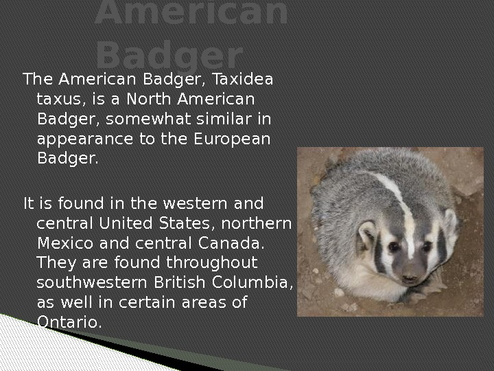 The American Badger, Taxidea taxus, is a North American Badger, somewhat similar in appearance to the