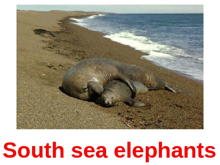 South sea elephants