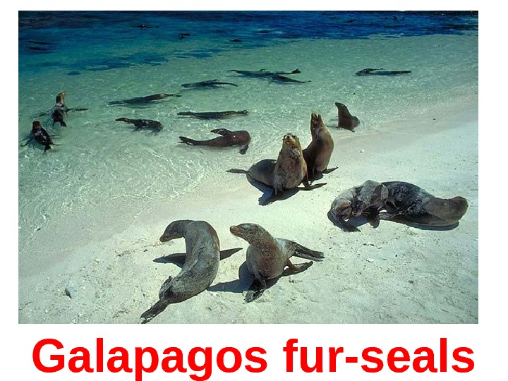 Galapagos  fur-seals