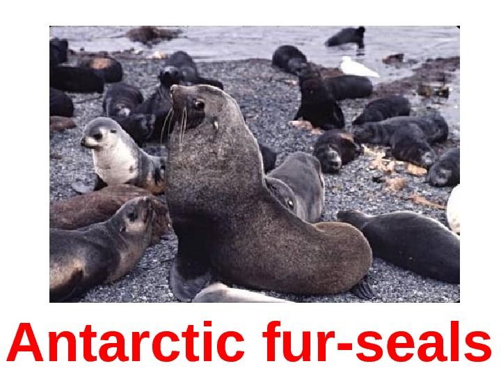 Antarctic fur-seals