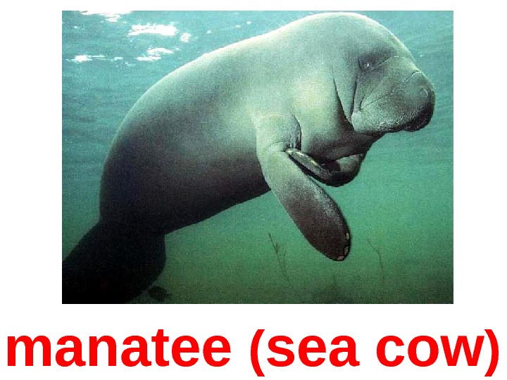 manatee ( sea cow )