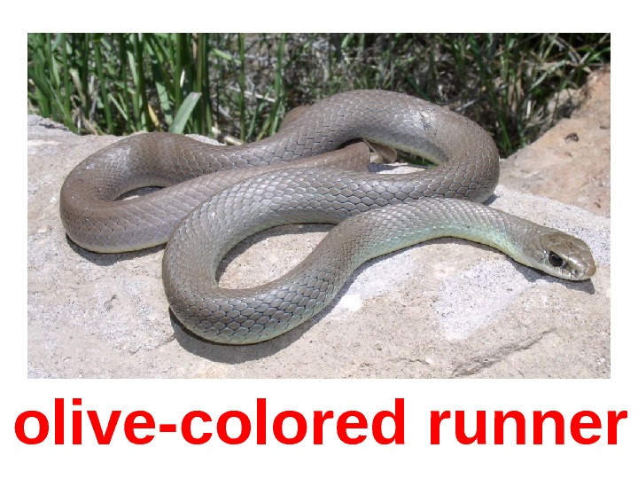 olive-colored runner