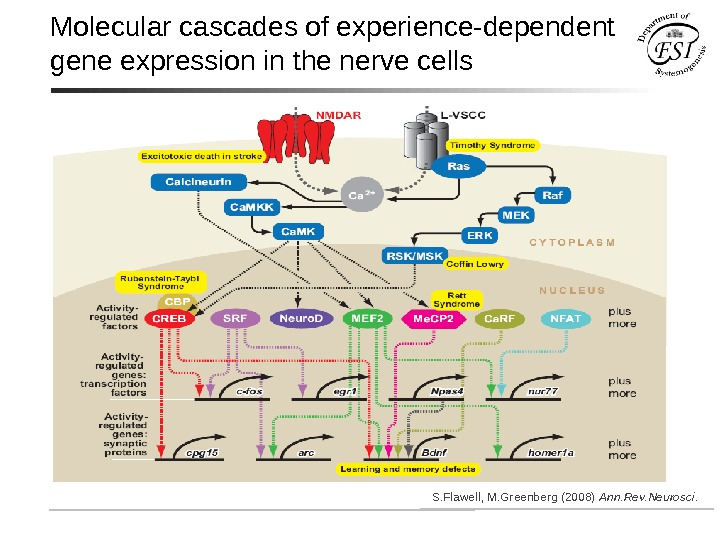 Molecular cascades of experience-dependent gene expression in the nerve cells S. Flawell, M. Greenberg (2008) Ann.
