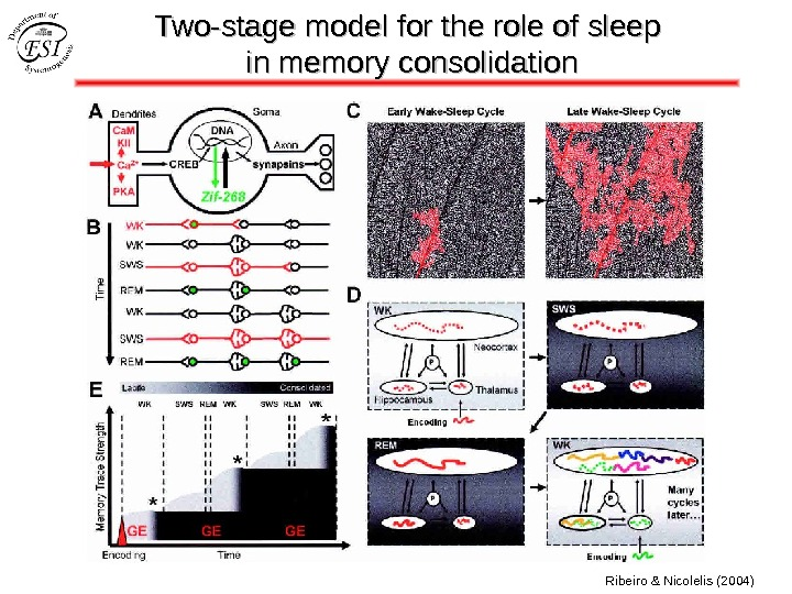 Two-stage model for the role of sleep in memory consolidation Ribeiro & Nicolelis (2004)
