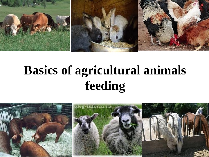 Basics of agricultural animals  feeding