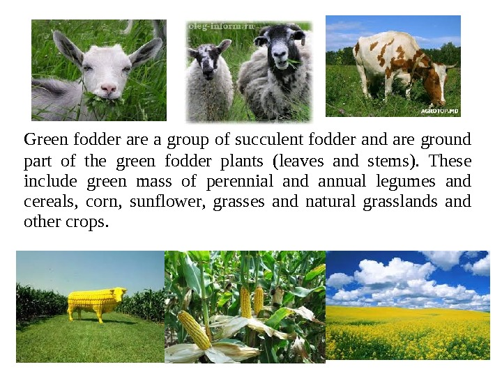 Green fodder are a group of succulent fodder and are ground  part of the green