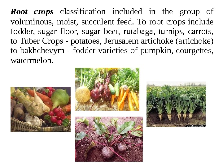 Root crops classification included in the group of voluminous,  moist,  succulent feed.  To