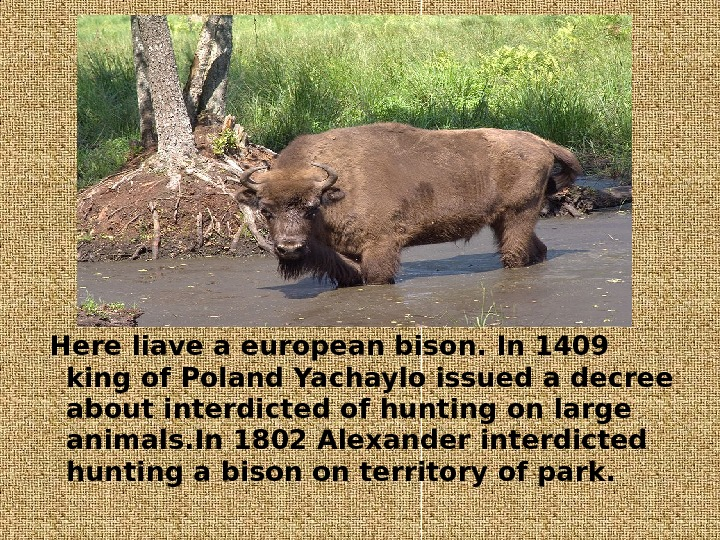 Here liave a european bison. In 1409 king of Poland Yachaylo issued a decree about interdicted