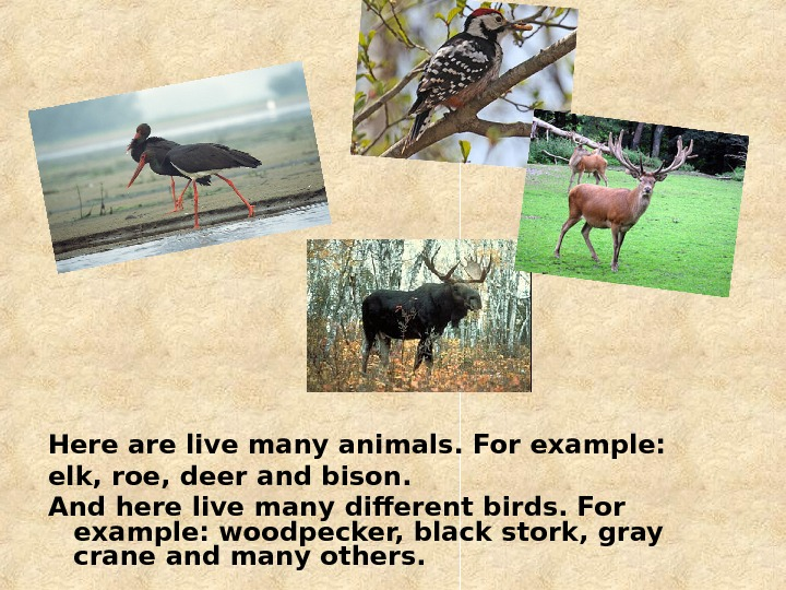 Here are live many animals. For example: elk, roe, deer and bison. And here live many