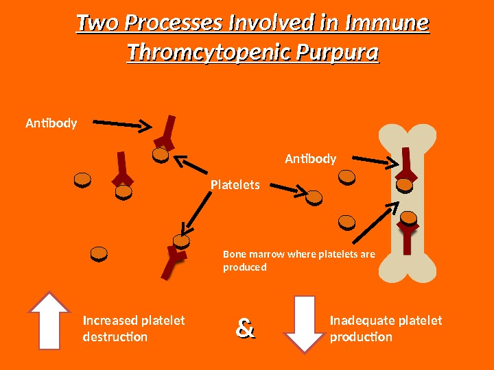Increased platelet destruction && Inadequate platelet production. Two Processes Involved in Immune Thromcytopenic Purpura Platelets. Antibody