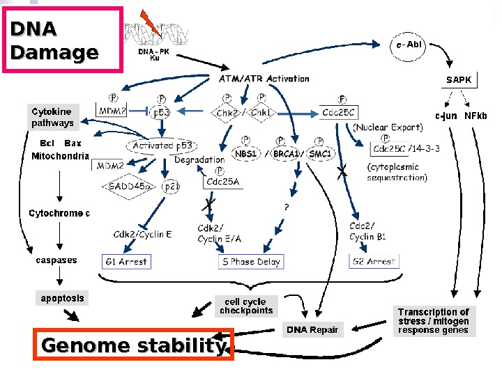 DNA Damage Genome stability
