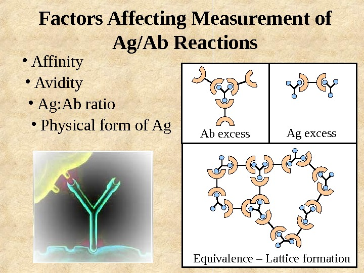 Factors Affecting Measurement of Ag/Ab Reactions •  Affinity •  Avidity •