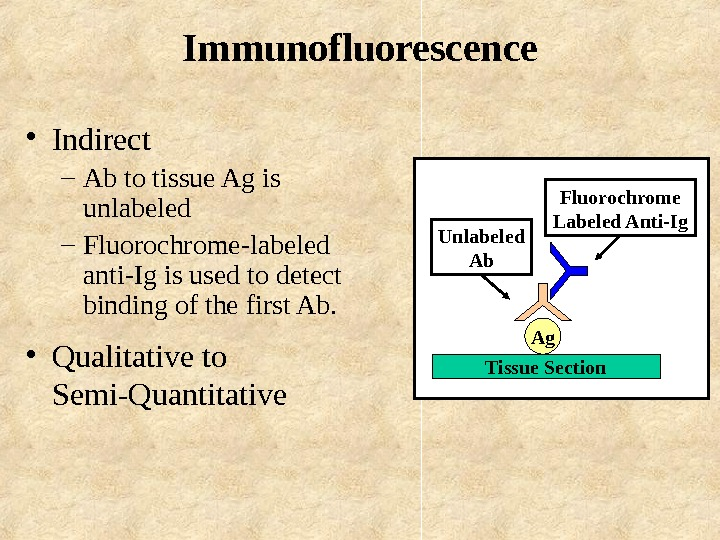 Immunofluorescence • Indirect – Ab to tissue Ag is unlabeled – Fluorochrome-labeled anti-Ig is