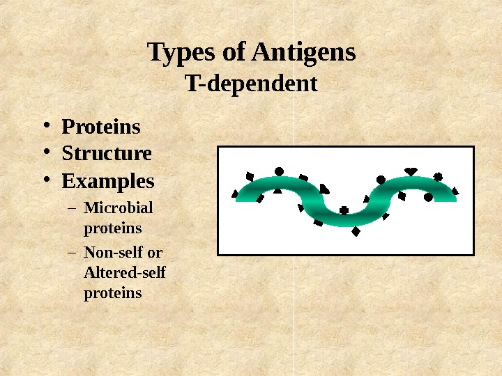 Types of Antigens T-dependent • Proteins • Structure • Examples – Microbial proteins –