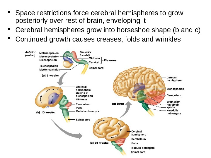 Space restrictions force cerebral hemispheres to grow posteriorly over rest of brain, enveloping it Cerebral