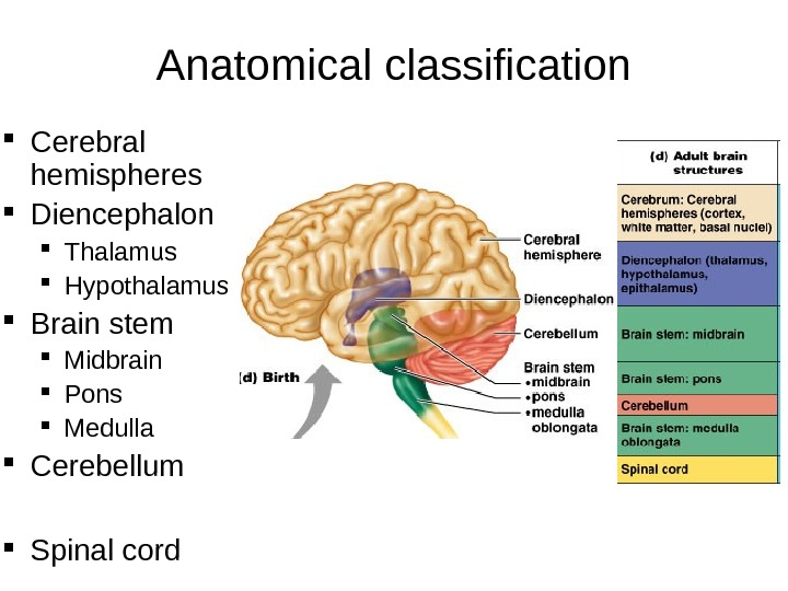 Anatomical classification Cerebral hemispheres Diencephalon Thalamus Hypothalamus Brain stem Midbrain Pons Medulla Cerebellum Spinal cord