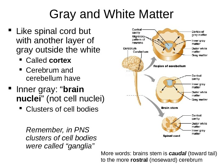 Gray and White Matter Like spinal cord but with another layer of gray outside the white