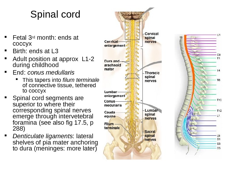Fetal 3 rd month: ends at coccyx Birth: ends at L 3 Adult position at