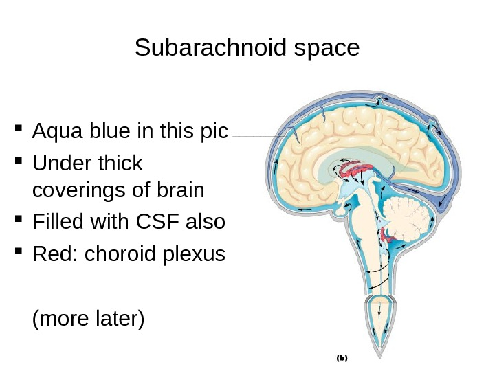 Subarachnoid space Aqua blue in this pic Under thick coverings of brain Filled with CSF also