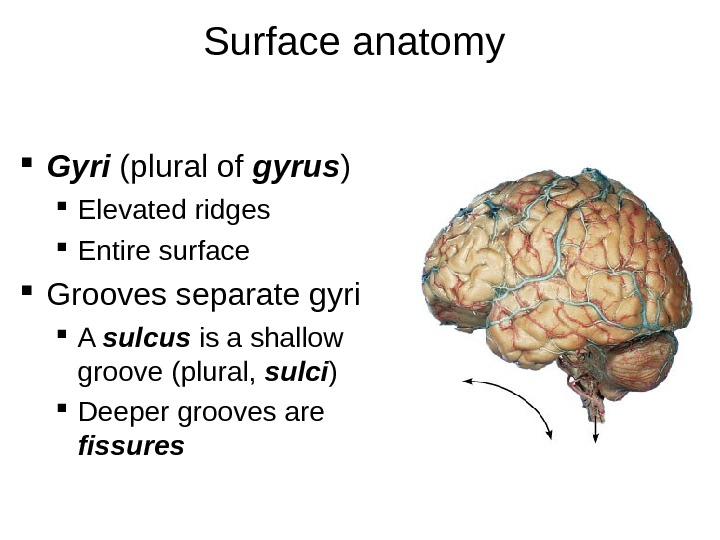 Surface anatomy  Gyri (plural of gyrus ) Elevated ridges Entire surface Grooves separate gyri A