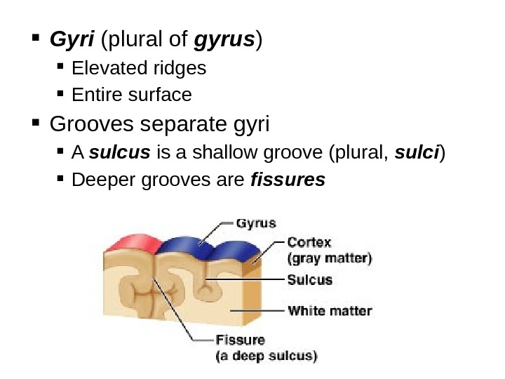 Gyri (plural of gyrus ) Elevated ridges Entire surface Grooves separate gyri A sulcus is