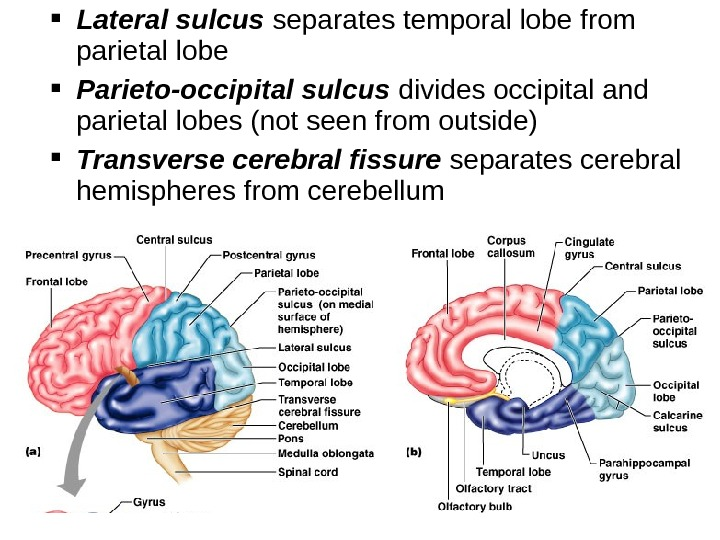 Lateral sulcus separates temporal lobe from parietal lobe Parieto-occipital sulcus divides occipital and parietal lobes