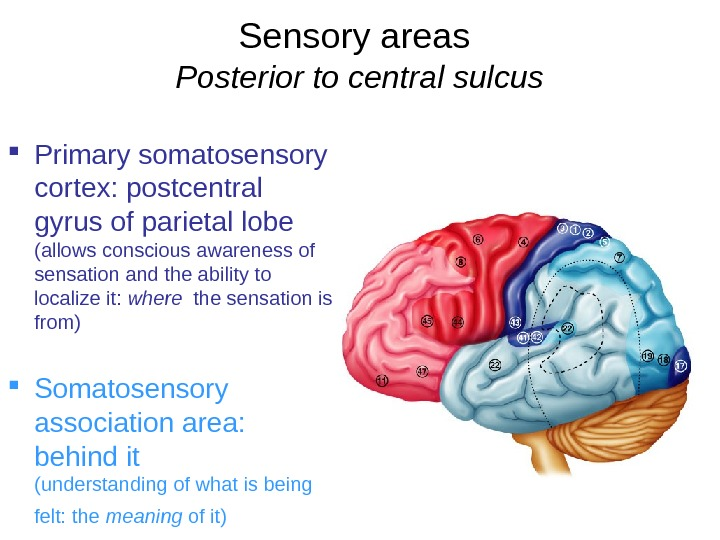 Sensory areas  Posterior to central sulcus Primary somatosensory cortex: postcentral gyrus of parietal lobe (allows