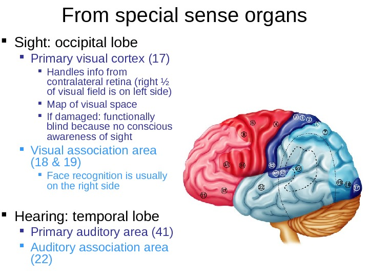From special sense organs Sight: occipital lobe Primary visual cortex (17) Handles info from contralateral retina