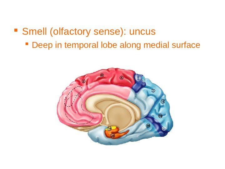 Smell (olfactory sense): uncus Deep in temporal lobe along medial surface