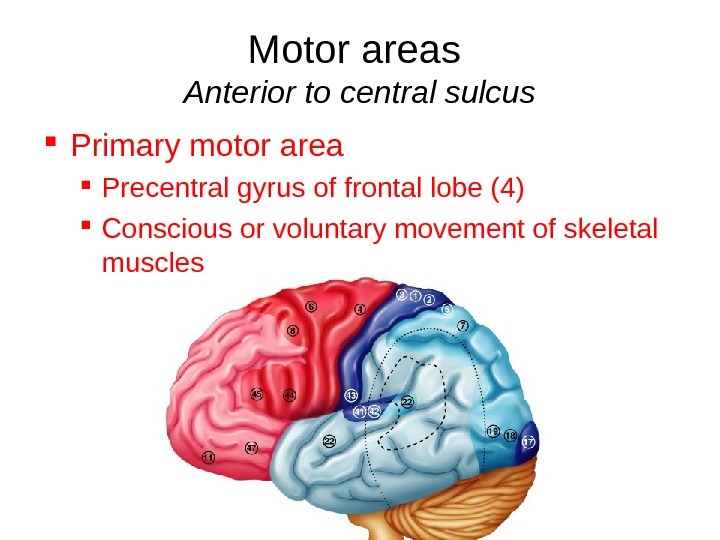 Motor areas Anterior to central sulcus Primary motor area Precentral gyrus of frontal lobe (4) Conscious