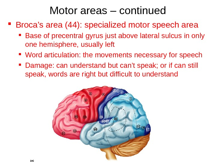 Motor areas – continued Broca's area (44): specialized motor speech area  Base of precentral gyrus
