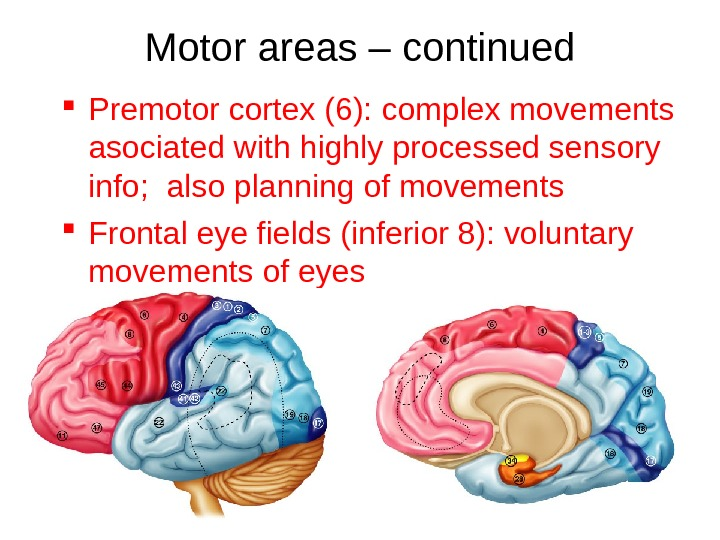 Motor areas – continued Premotor cortex (6): complex movements asociated with highly processed sensory info;