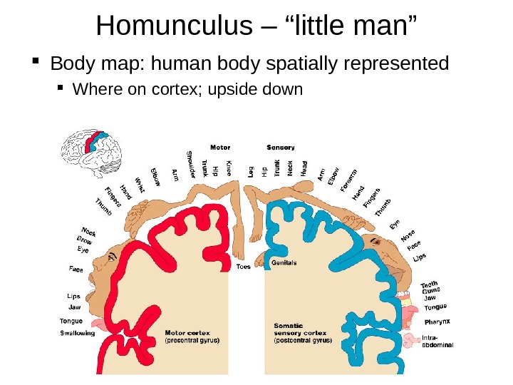 "Homunculus – ""little man"" Body map: human body spatially represented Where on cortex; upside down"