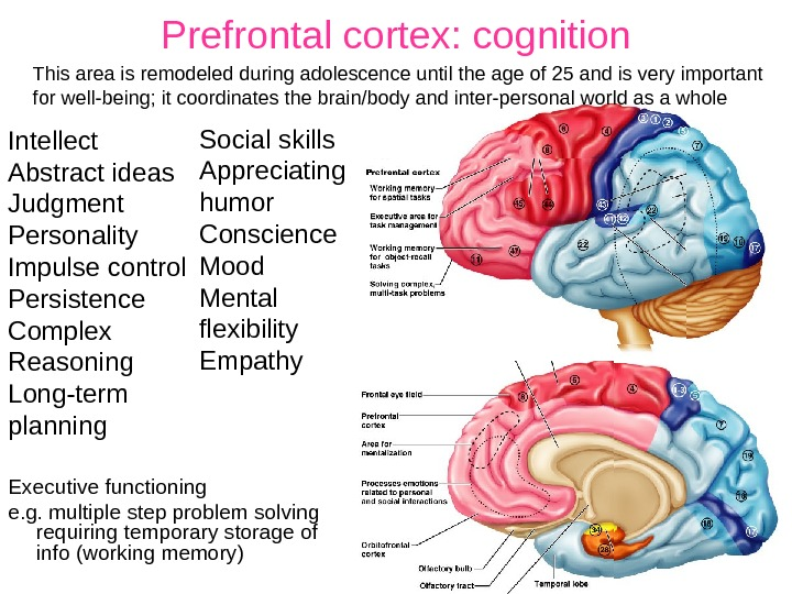 Prefrontal cortex: cognition Executive functioning e. g. multiple step problem solving requiring temporary storage of info