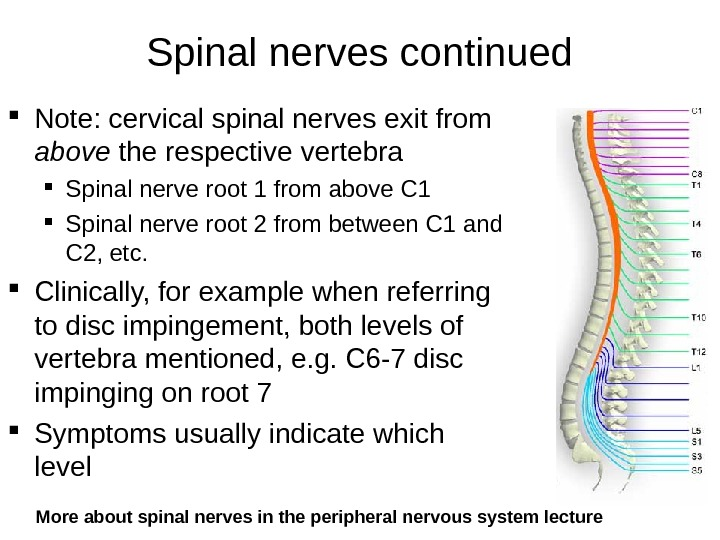 Spinal nerves continued Note: cervical spinal nerves exit from above the respective vertebra Spinal nerve root