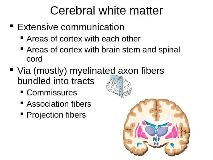 Cerebral white matter Extensive communication Areas of cortex with each other Areas of cortex with brain