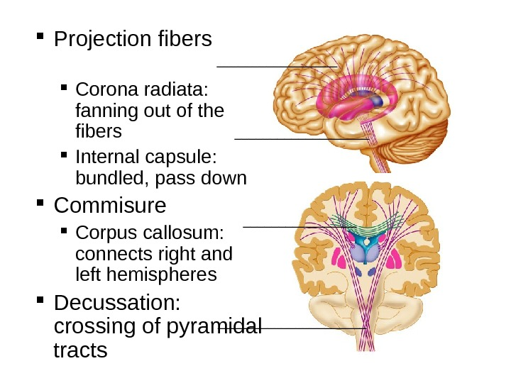 Projection fibers    Corona radiata:  fanning out of the fibers Internal capsule: