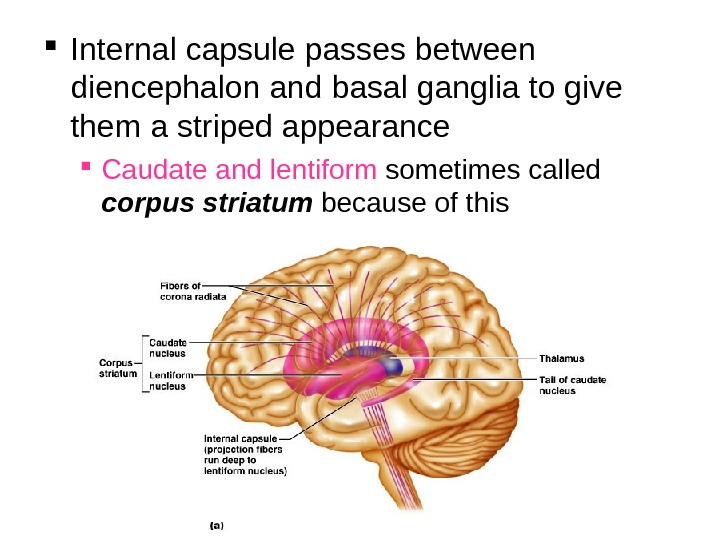 Internal capsule passes between diencephalon and basal ganglia to give them a striped appearance Caudate