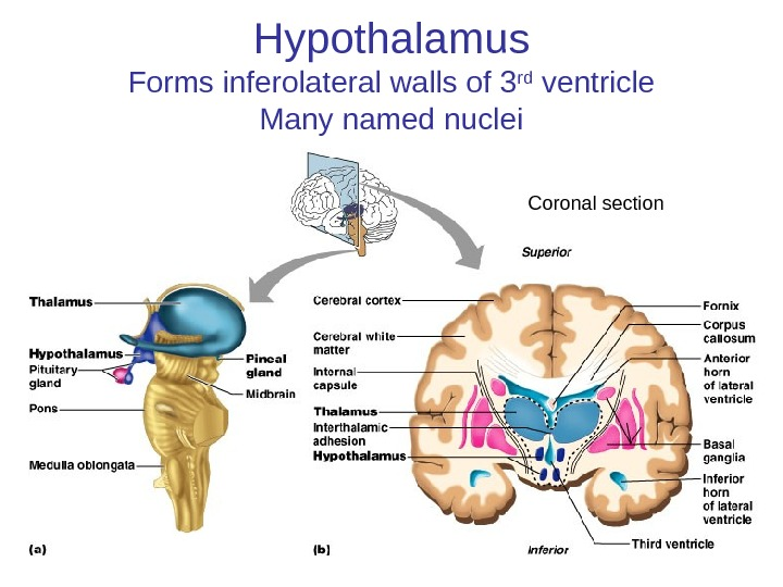 Hypothalamus Forms inferolateral walls of 3 rd ventricle Many named nuclei Coronal section