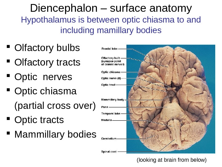 Diencephalon – surface anatomy Hypothalamus is between optic chiasma to and including mamillary bodies Olfactory bulbs