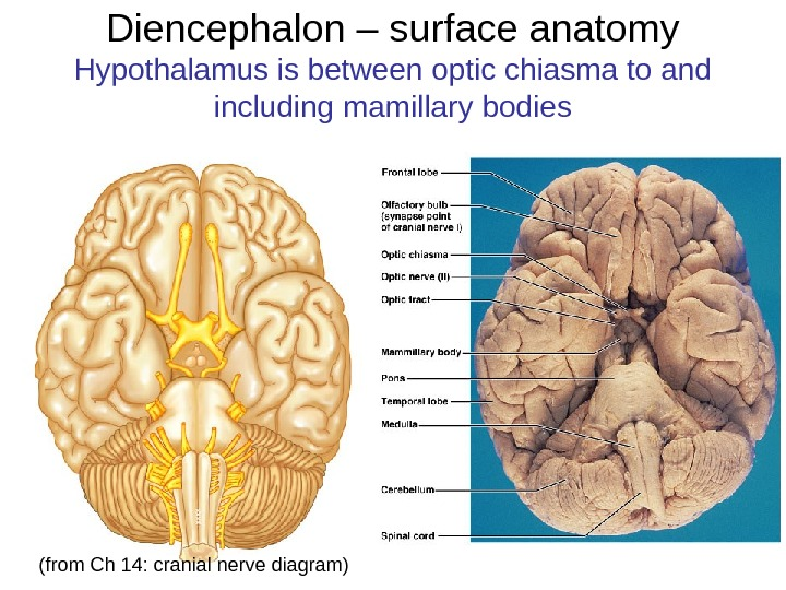 Diencephalon – surface anatomy Hypothalamus is between optic chiasma to and including mamillary bodies (from Ch