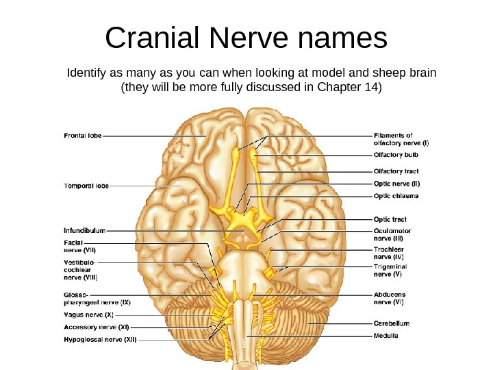 Cranial Nerve names Identify as many as you can when looking at model and sheep brain