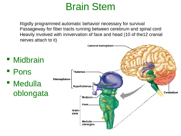 Brain Stem Midbrain Pons Medulla oblongata Rigidly programmed automatic behavior necessary for survival Passageway for fiber