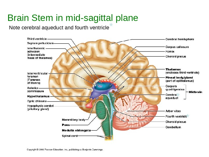 Brain Stem in mid-sagittal plane Note cerebral aqueduct and fourth ventricle * * *