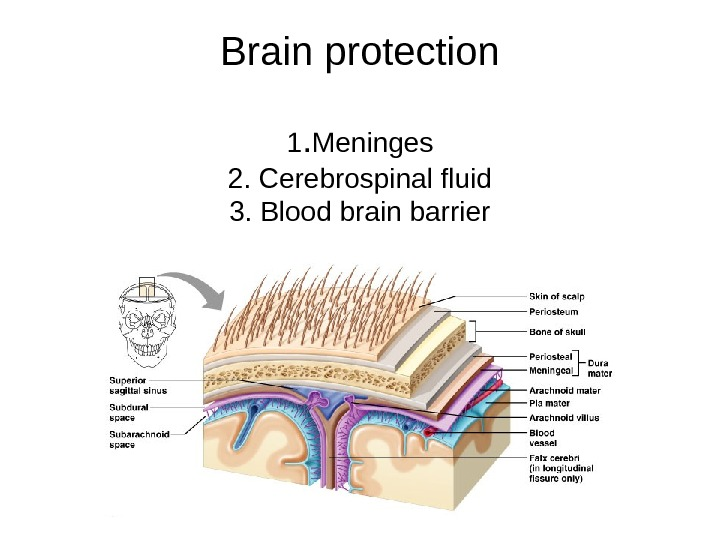 Brain protection 1. Meninges 2. Cerebrospinal fluid 3. Blood brain barrier