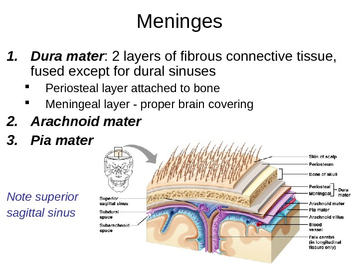 Meninges 1. Dura mater : 2 layers of fibrous connective tissue,  fused except for dural